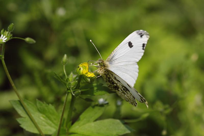 2008年5月中旬 初夏の蝶の五目撮り(マクロ編)_d0054625_21315642.jpg