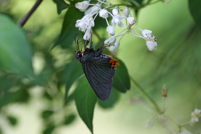2008年5月中旬 初夏の蝶の五目撮り(マクロ編)_d0054625_21402386.jpg