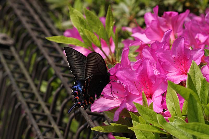 2008年5月中旬 初夏の蝶の五目撮り(マクロ編)_d0054625_21443975.jpg