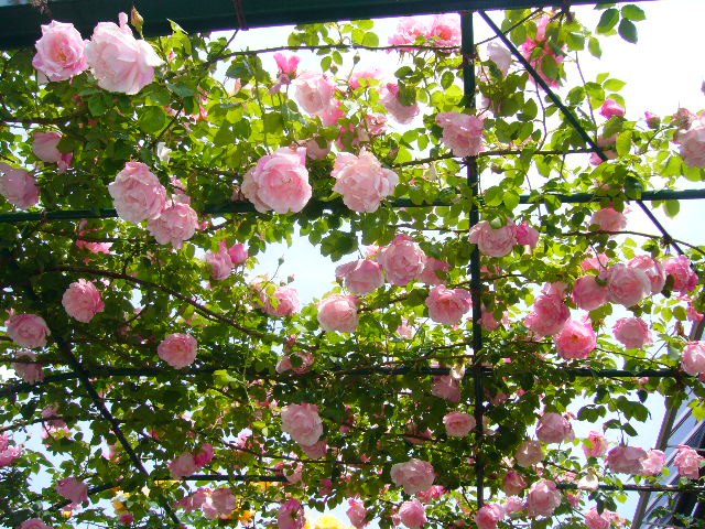 2008年5月17日(土)寅ちゃんと実家と京成バラ園!_f0060461_17223684.jpg