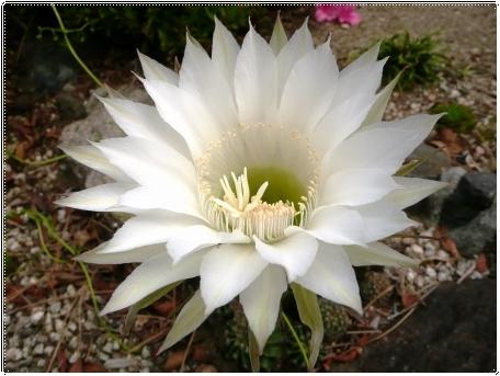 白い花のサボテン_c0079206_18581140.jpg