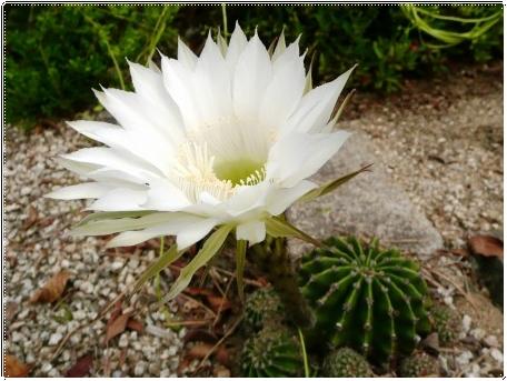 白い花のサボテン_c0079206_18582664.jpg