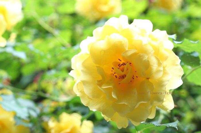 5月のバラ スズランのリングピロー シェ松尾松濤レストラン様の装花_a0042928_23184753.jpg