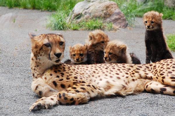 多摩動物公園 チーターの赤ちゃん_a0003650_7553958.jpg