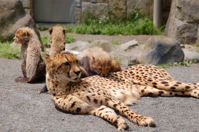 多摩動物公園 チーターの赤ちゃん_a0003650_815565.jpg