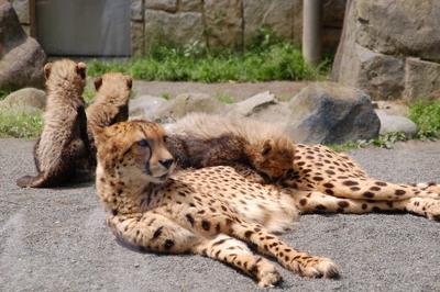 多摩動物公園 チーターの赤ちゃん_a0003650_8163662.jpg