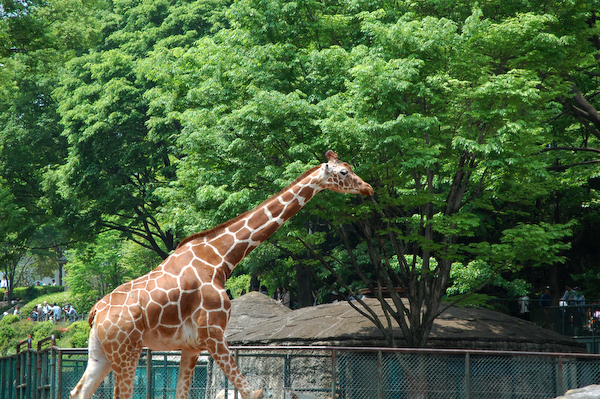 多摩動物公園 チーターの赤ちゃん_a0003650_8174424.jpg