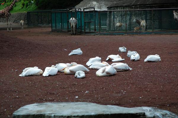 多摩動物公園 チーターの赤ちゃん_a0003650_8224022.jpg