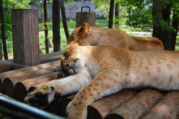 多摩動物公園 チーターの赤ちゃん_a0003650_8462586.jpg