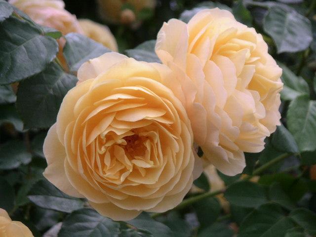綺麗なバラにため息・・・ 【個人邸のお庭の花】_e0146912_23535122.jpg