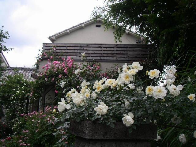 綺麗なバラにため息・・・ 【個人邸のお庭の花】_e0146912_23572486.jpg