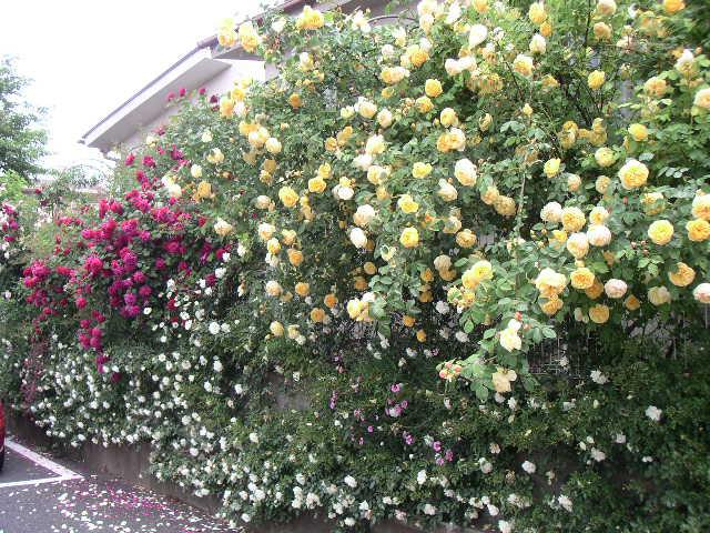 綺麗なバラにため息・・・ 【個人邸のお庭の花】_e0146912_23584354.jpg