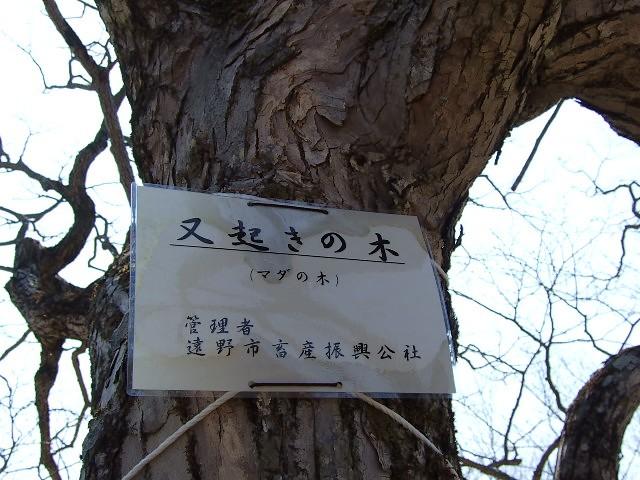 マダ見ぬマダの木_d0001843_23252996.jpg