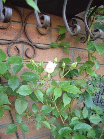 バラも咲き始めました♪   _f0029571_10173958.jpg