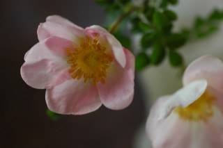 Rosa spinosissima lutea ?_f0160480_039353.jpg