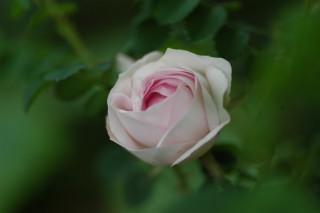 Rosa spinosissima lutea ?_f0160480_049517.jpg