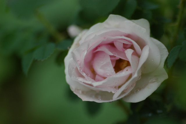 Rosa spinosissima lutea ?_f0160480_0544540.jpg