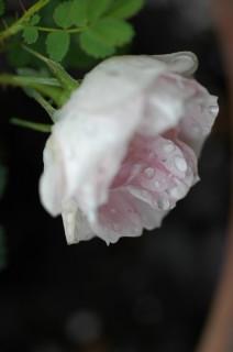 Rosa spinosissima lutea ?_f0160480_0561423.jpg