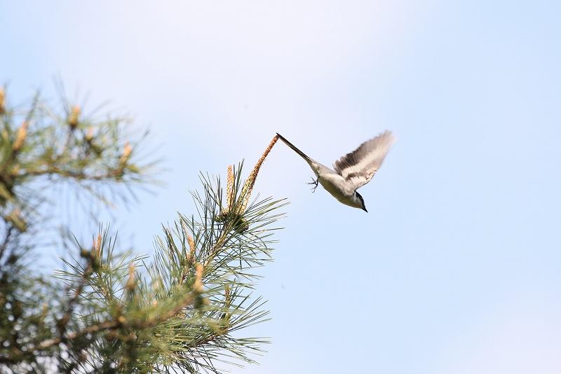 サンショウクイの飛翔_f0117296_20132588.jpg
