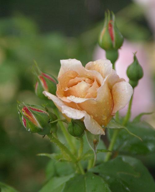 雨あがりのバラたち_d0107929_20103991.jpg