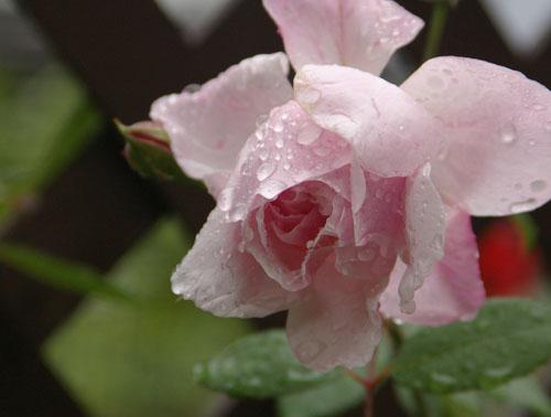 雨あがりのバラたち_d0107929_20111666.jpg
