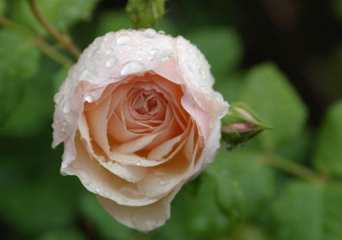 雨あがりのバラたち_d0107929_20114622.jpg