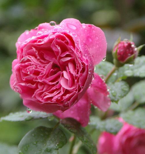 雨あがりのバラたち_d0107929_2092513.jpg