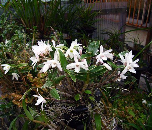 ◆石斛の花                     No.276_d0103457_0193255.jpg