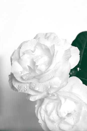 白い薔薇。_b0133890_15203864.jpg