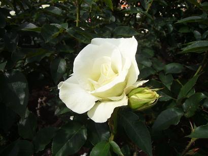神代植物園 2008,5,20_e0108897_23344012.jpg