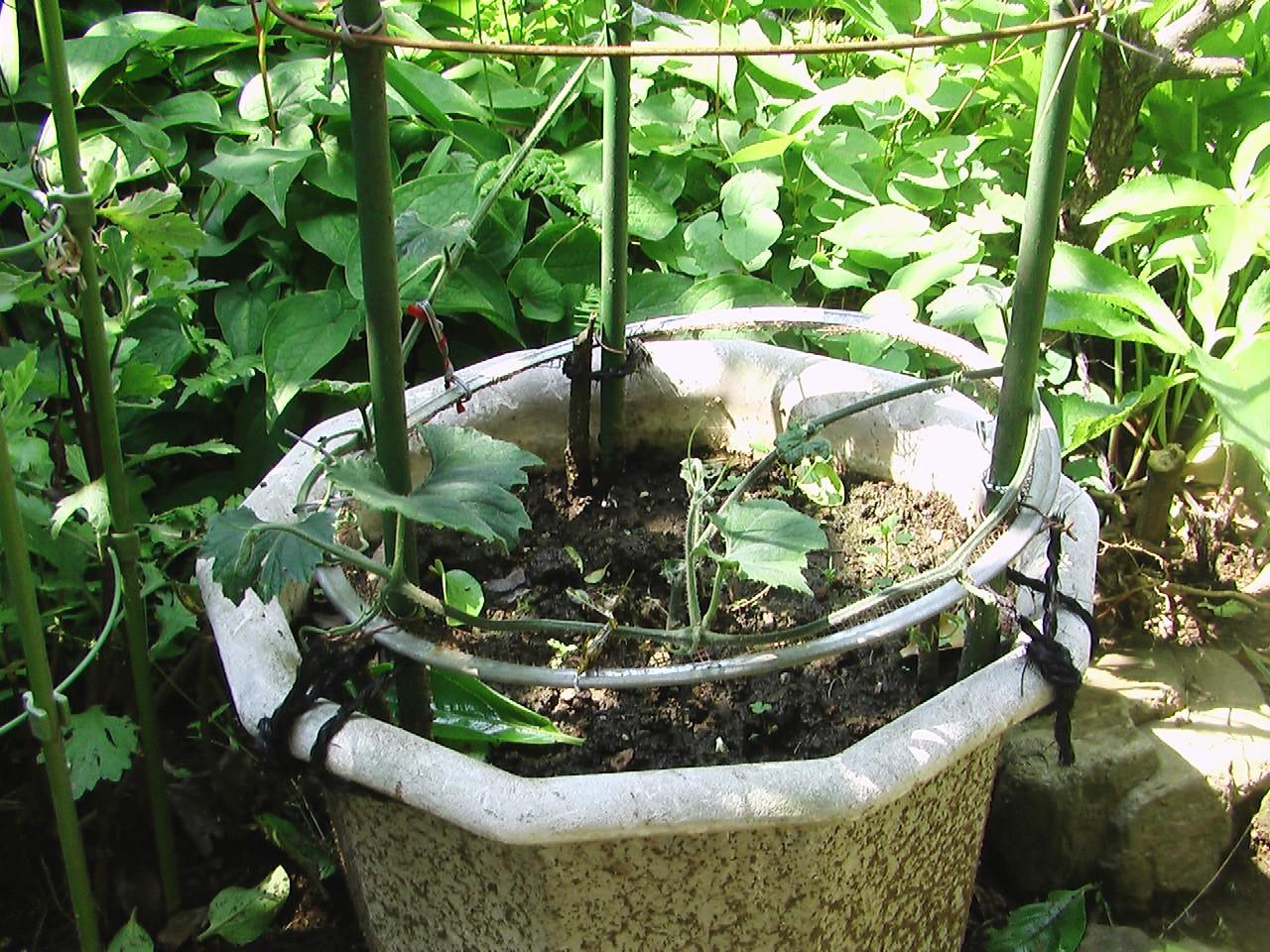 カラスウリの鉢植え_e0094102_95755100.jpg