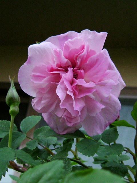 ブルソーのバラ 初めての開花_f0007106_3565769.jpg