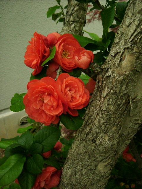 ブルソーのバラ 初めての開花_f0007106_5155895.jpg