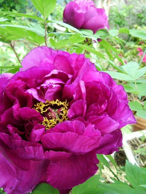 ブルソーのバラ 初めての開花_f0007106_5173655.jpg