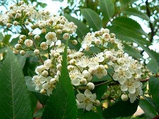 ミヤマザクラ(深山桜)_f0019247_23215061.jpg