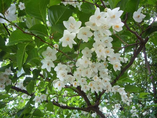 神代植物園 木の花_e0108897_1902113.jpg