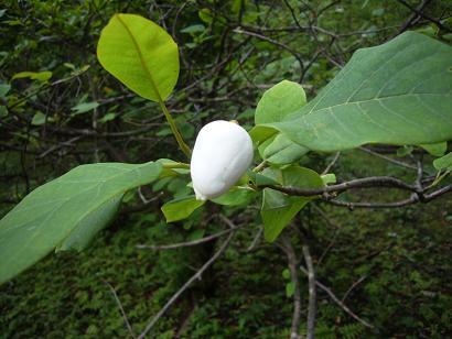 神代植物園 木の花_e0108897_19113639.jpg