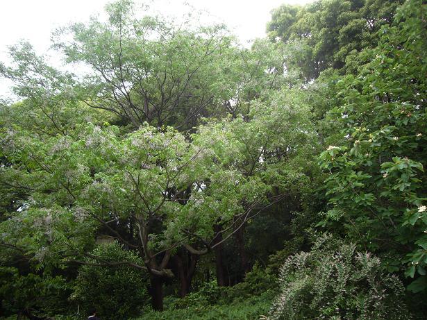 神代植物園 木の花_e0108897_1913510.jpg