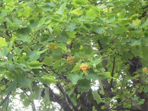 神代植物園 木の花_e0108897_1922988.jpg