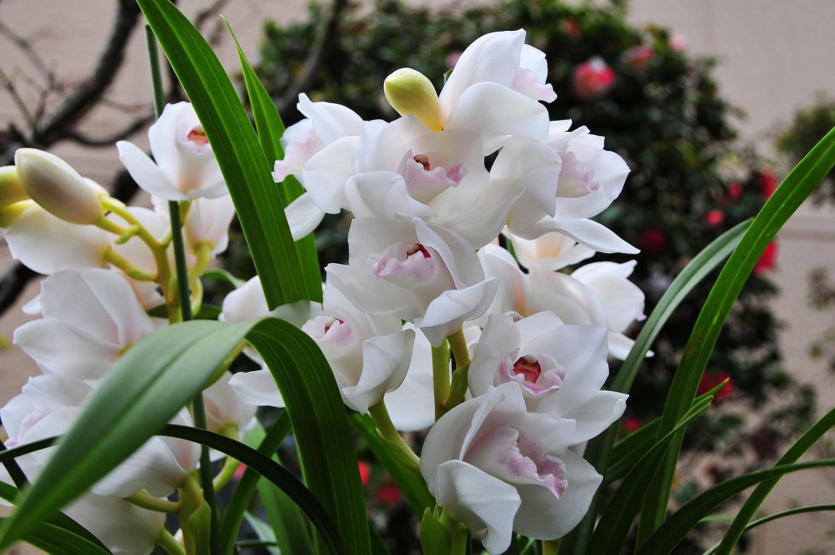 蘭(ランの花)の壁紙写真_f0172619_1630514.jpg