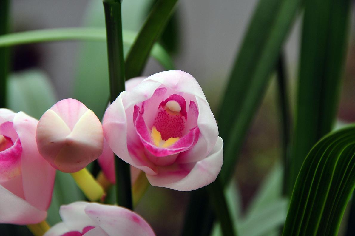 蘭(ランの花)の壁紙写真_f0172619_16313125.jpg