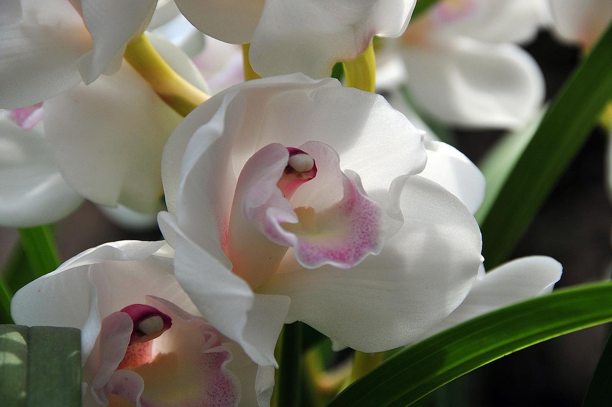蘭(ランの花)の壁紙写真_f0172619_1631375.jpg