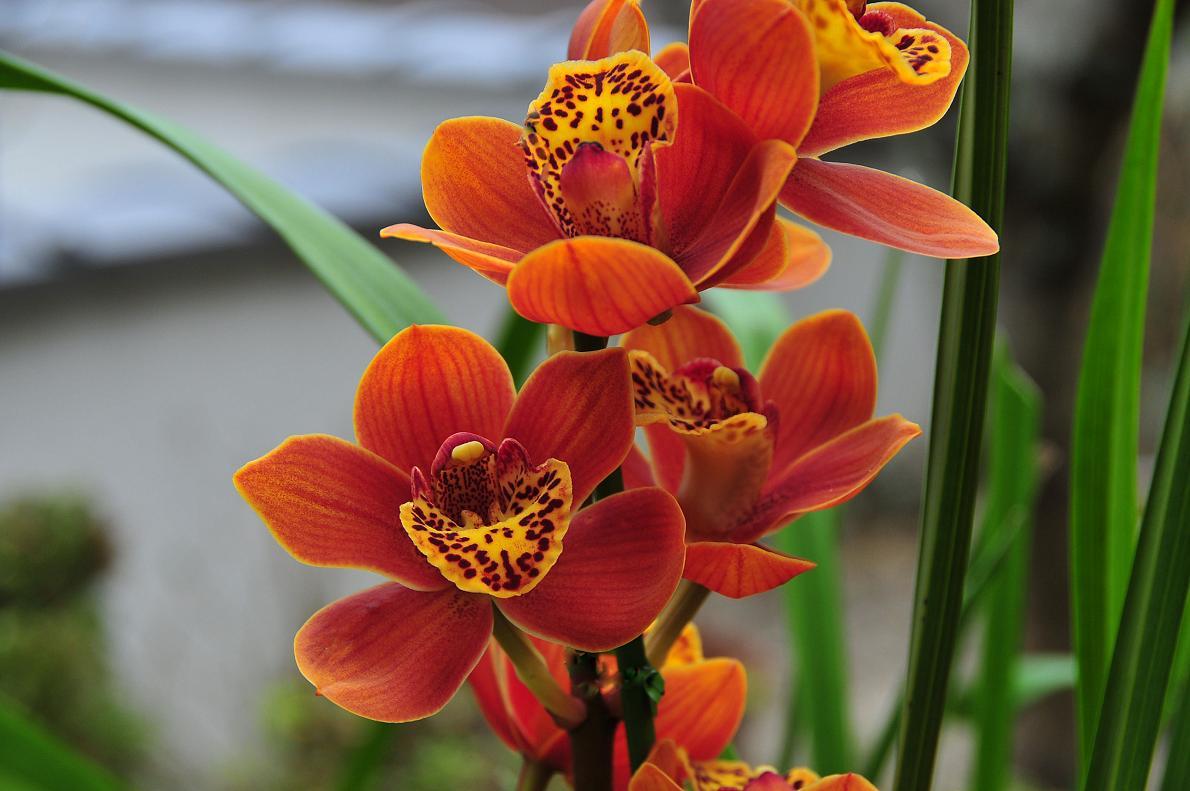 蘭(ランの花)の壁紙写真_f0172619_16314534.jpg