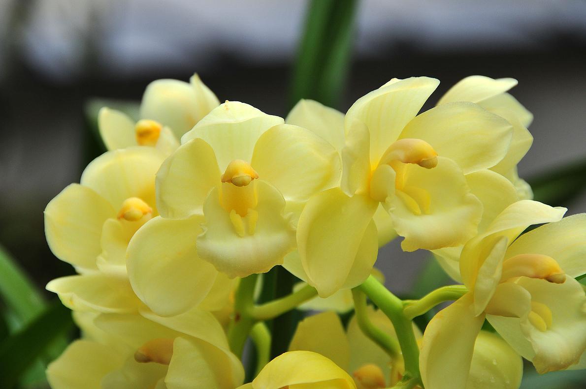 蘭(ランの花)の壁紙写真_f0172619_16322272.jpg
