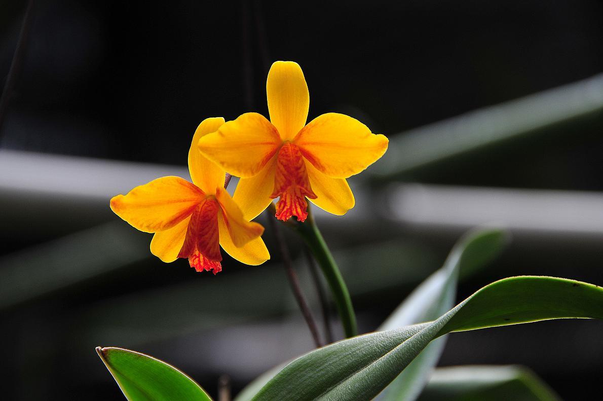 蘭(ランの花)の壁紙写真_f0172619_16323498.jpg
