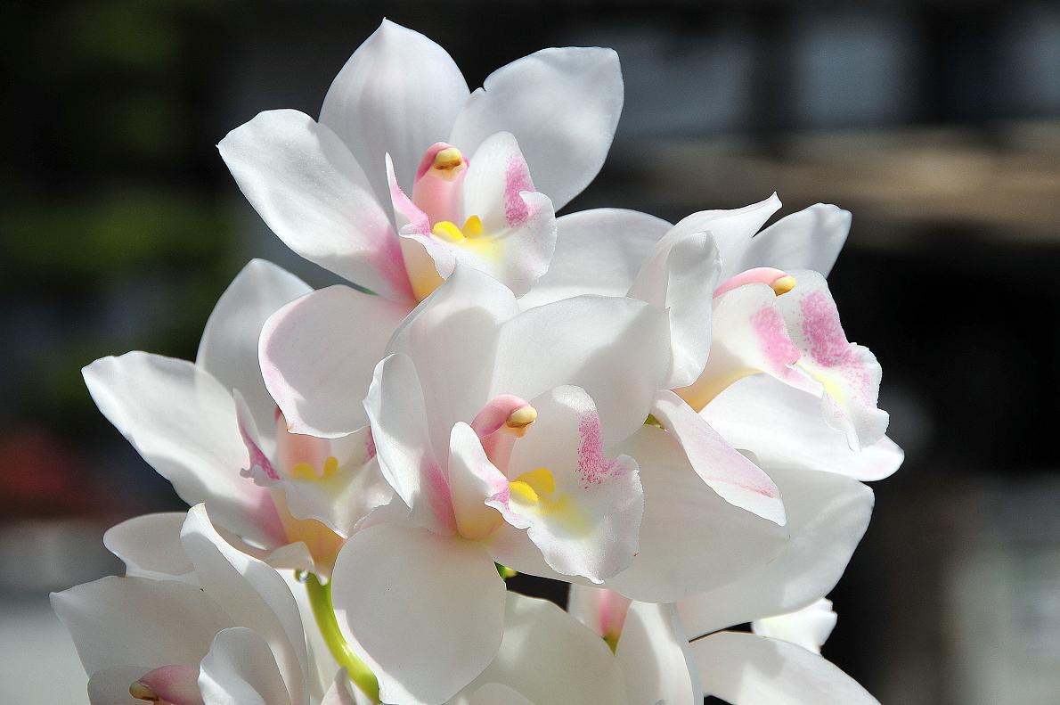 蘭(ランの花)の壁紙写真_f0172619_16324884.jpg
