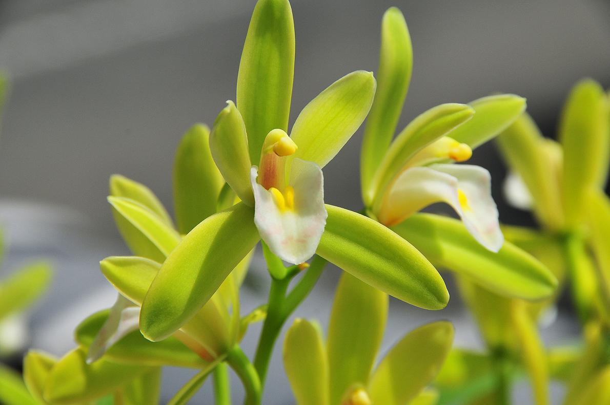 蘭(ランの花)の壁紙写真_f0172619_16332179.jpg