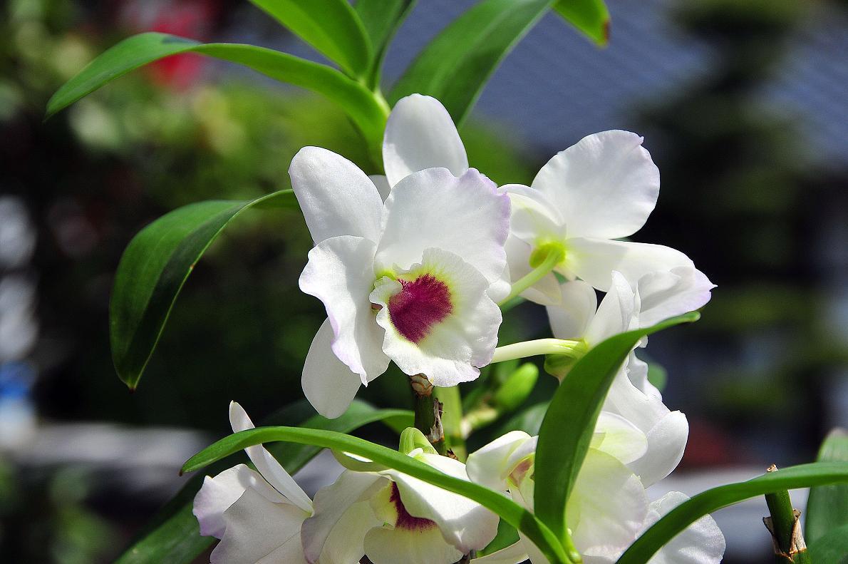 蘭(ランの花)の壁紙写真_f0172619_16333494.jpg