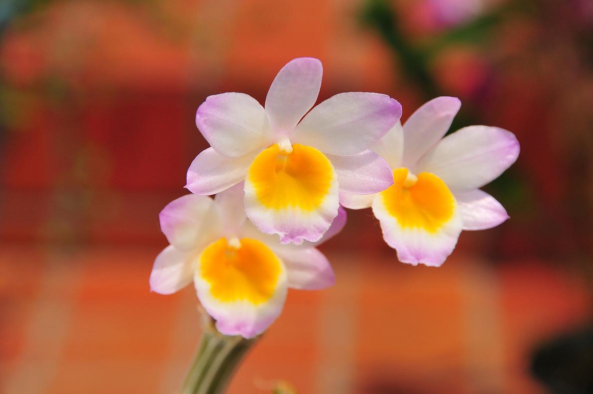 蘭(ランの花)の壁紙写真_f0172619_16351899.jpg
