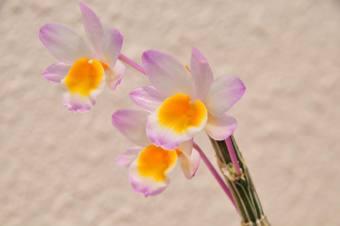 蘭(ランの花)の壁紙写真_f0172619_16352964.jpg